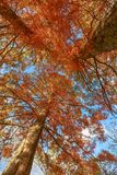 Trees in autumn foliage, from the ground looking up Stock Images