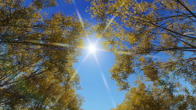 Trees in Autumn footage video. Trees with falling leaves in autumn video footage stock footage