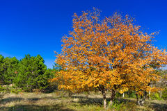 Trees in autumn forest. And blue sky Stock Photography