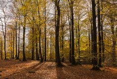 Trees in autumn forest Royalty Free Stock Image