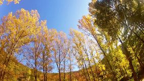 Trees in autumn in a forest. Autumn colorful trees, wide angle panning shoot  View on tree tops from the ground. crones stock footage