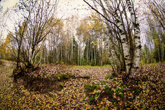 Trees in the autumn forest. Fall woods. Stock Photo