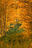 Trees in autumn forest Stock Photography