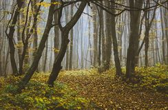 Trees in the autumn forest in the misty morning_ stock photos
