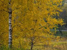 Trees in autumn forest Royalty Free Stock Images