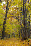 Trees in the autumn forest among  yellow leaves Royalty Free Stock Images