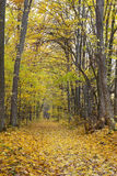 Trees in the autumn forest among  yellow leaves Royalty Free Stock Photography