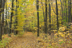 Trees in the autumn forest among  yellow leaves Royalty Free Stock Photos