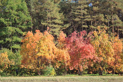Trees in autumn forest. Yellow red and green trees in autumn forest Royalty Free Stock Images