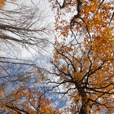 Trees with autumn leaves stretch into the sky Stock Image
