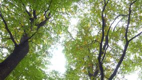 Trees in an autumn park. Landscape of bright autumn leaves, swaying in the wind in a forest park grow large trees stock video footage