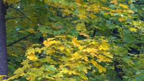Trees of Autumn Park. View from colorful autumn leaves, swaying in the wind in a forest park stock footage