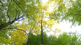 Trees of Autumn Park. View from colorful autumn leaves, swaying in the wind in a forest park stock video footage