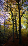 Trees in autumn. Trees silhouetted in a wood in autumn Stock Photo