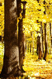 Trees  autumn  wood Royalty Free Stock Photography