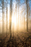 Trees backlit at dawn Royalty Free Stock Image