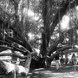 Trees. Banyan tree in Hawaiian park Stock Photography