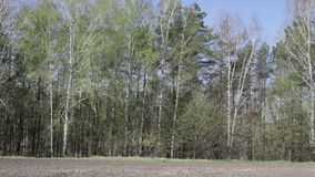 Trees barely covered with young leaves. Gently swaying for chernozem field stock footage