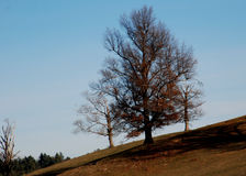Trees barren of leaves under the harsh light of a late fall day in New England. Brown field, bright blue sky, sloping field royalty free stock photography