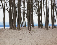 Trees on beach. Stand of leafless trees on beach Royalty Free Stock Photography