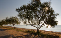 Trees by the beach Stock Images