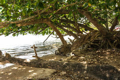 Trees on the beach in Kauai, Hawaii Royalty Free Stock Images
