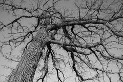 Trees. Beautiful black and white picture of the old tree Stock Image