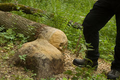 Trees that beavers gnawed Royalty Free Stock Image