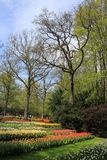 Trees and beds with tulips in flower garden Keukenhof in spring. Spring, park with some bold trees and beds with many blooming tulips in world`s largest flower royalty free stock photography