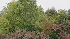 Sound of strong wind  in the trees in early autumn stock footage