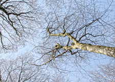 Trees from below. Looking up from the forest floor at the bare trees Stock Photography