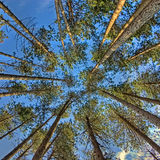 Trees from below. View of trees from below Stock Image
