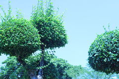 Trees bending shape beautiful decoration shady garden Royalty Free Stock Photography