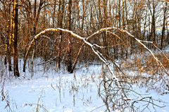 Trees bent over in a woods. Two identical young bent over saplings are covered with fresh snow and create a walk through woodsy tunnel Royalty Free Stock Photo