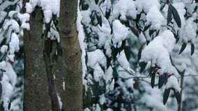 Trees With Berries In Snowfall. Tree trunks and branches with berries in winter with snow falling stock video footage