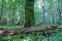 Trees in Bialowieza National Park Royalty Free Stock Image