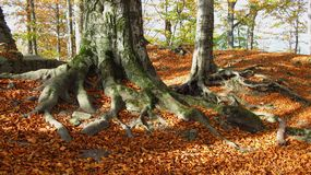 Trees with big roots Royalty Free Stock Images