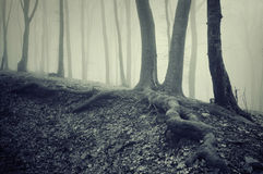 Trees with big roots in a dark creepy mysterious forest with fog. On halloween stock photography