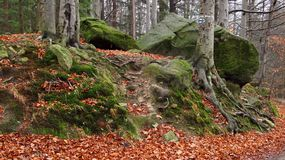 Trees and big stones. Some big stones in the beech forest in autumn Royalty Free Stock Photos