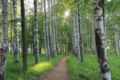 Trees birch alley road way summer Royalty Free Stock Photo