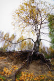 Trees birch in the autumn forest. Fall woods. Royalty Free Stock Image
