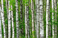 Trees in the birch wood Royalty Free Stock Image