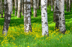 Trees in the birch wood royalty free stock photography