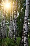 Trees  birches   grove Royalty Free Stock Image