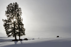 Trees and Bisons in back-light Stock Photography