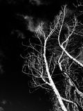 trees in black white background Stock Images