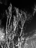 trees in black white background Stock Photography