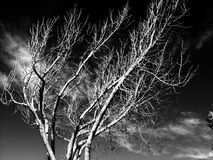 trees in black white background Stock Image