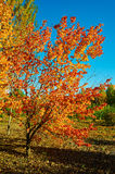 The trees with blazing with colour Royalty Free Stock Photos