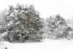 Trees in blizzard Royalty Free Stock Photography